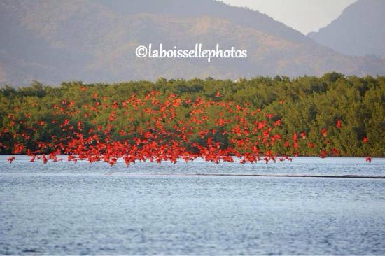 St. Ann's, Тринидад: A flock of Scarlet Ibis coming into roost