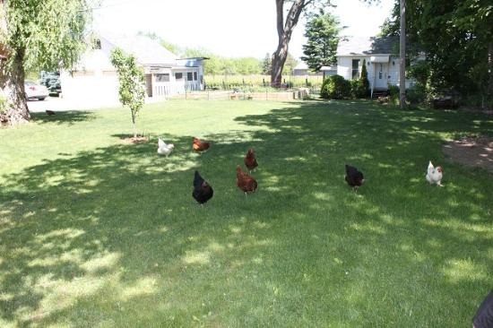 Green Oaks B&B: Gardens the the Girls (chickens)