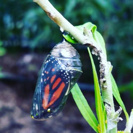 Oyster River Bed and Breakfast: Monarch butterfly ready to hatch