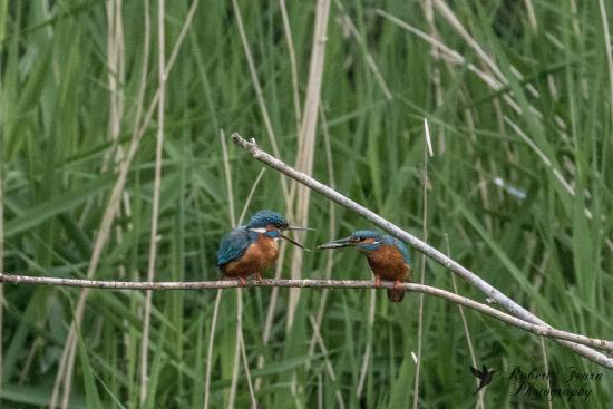 Rye Meads Nature Reserve: Male Kingfisher bringing breakfast for the female