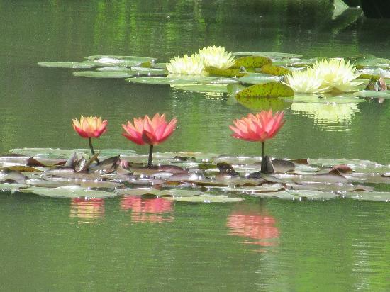 Hamanako Garden Park : 花の美術館(花美の庭)スイレン(6月上旬)