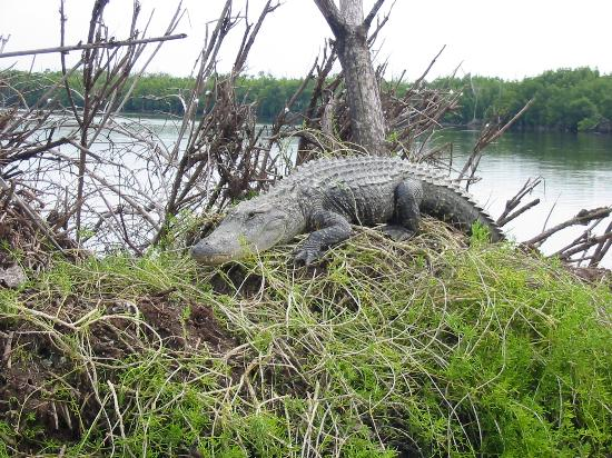 Chokoloskee, Flórida: gator on Nest