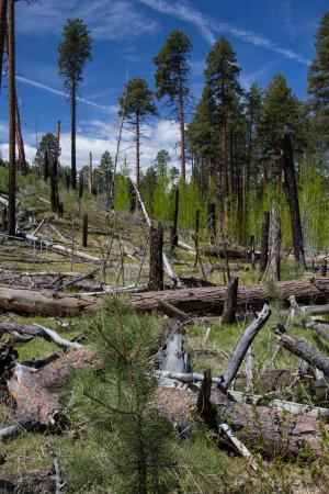Widforss Trail: Area recovering from fire damage