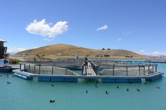 紐西蘭特威泽尔: Twizel高山雪水養殖場好漂亮,還有小黑鴨好可愛^^