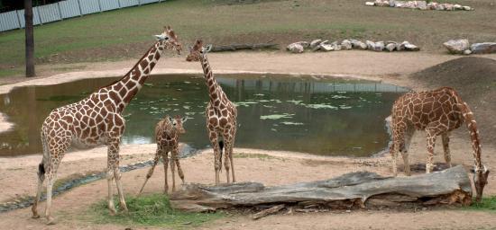Brno, República Checa: Вольер с жирафами