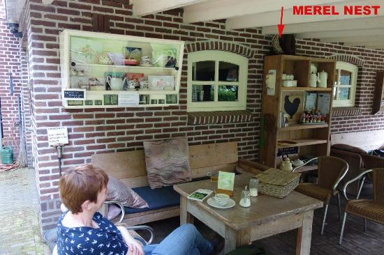 Afferden, The Netherlands: merel nest met jongen op de kast