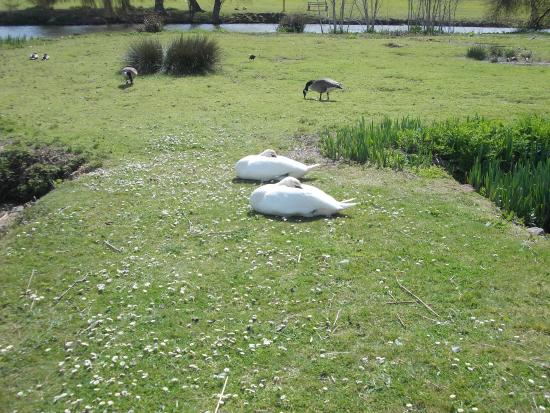 Hazelwood Holiday Park: swans relaxiing