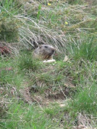 Rifugio Dordona: Marmotta nella tana
