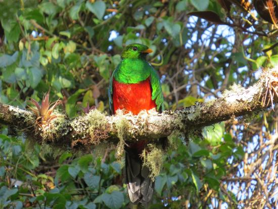 Santa Marta District, Colombia: White-tipped Quetzal (endemic)