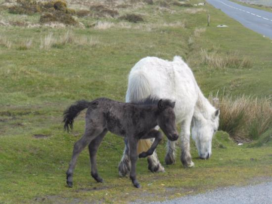 Dousland, UK: adventuresome colt right near a parking area