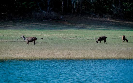 Thekkady, Indien: Periyar sanctuary is a stage for one of the most dramatic wildlife experiences. The ideal place
