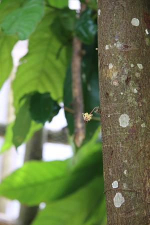 Vieux-Habitants, جوادلوب: fleur de cacao