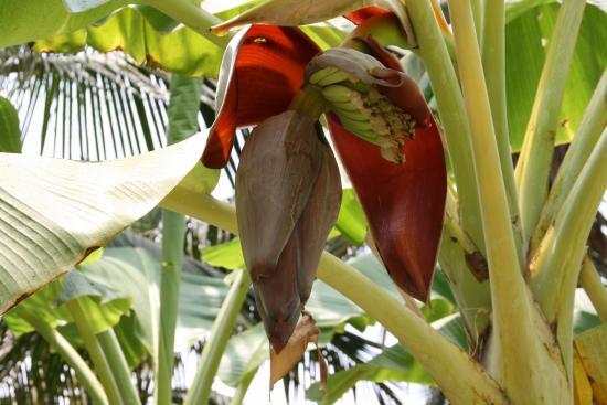 Ocean Star Resort: Это цветет банан.