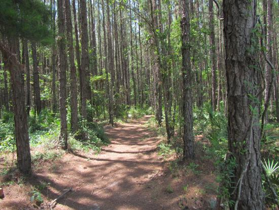 Alachua, FL: Trail through the planted pine forest