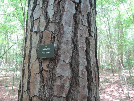 Alachua, FL: Some trees are labeled, loblolly pine