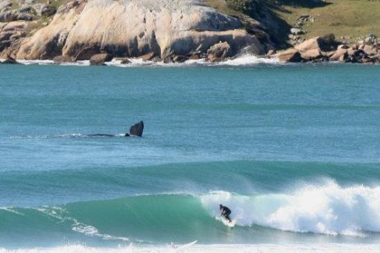 Surf na Praia do Rosa com baleia ao fundo!
