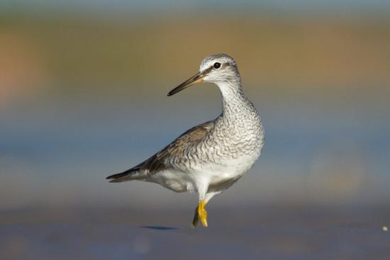 Broome Bird Observatory: A Grey-tailed Tattler getting ready for migration