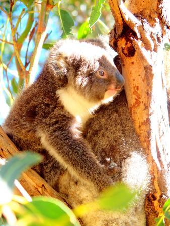Hanson Bay, Australien: Cute joey