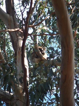 Hanson Bay, Australien: Koala in the wild