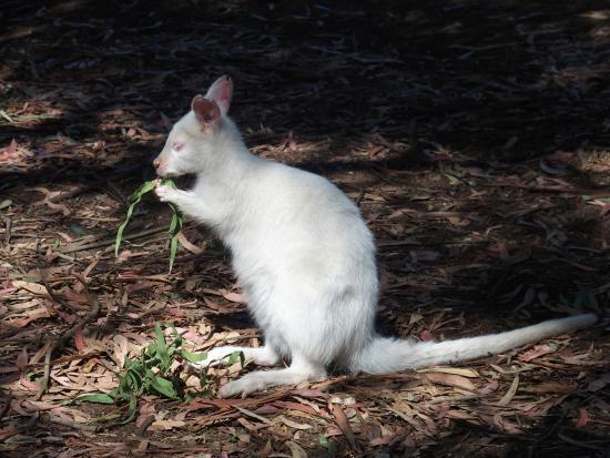 Seddon, أستراليا: White wallabie
