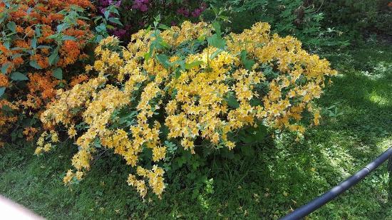 Park Rosenhöhe: Gelbe Azaleen