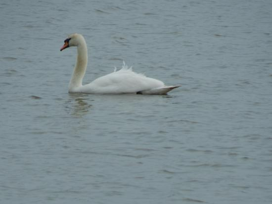 RSPB West Canvey Marsh: Mute swan