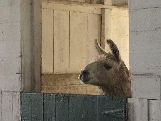Meadow Lane Lodge & Cottages: Llama in one of the barns