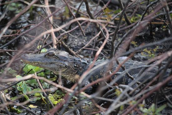 Kissimmee, Floryda: baby gator in the reeds