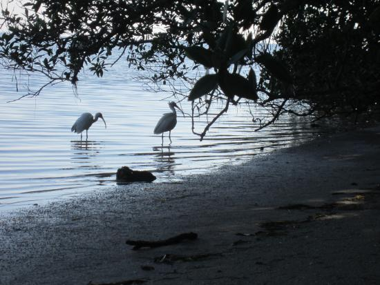 Bradenton, FL: Florida Ibis in a cove along the bike trail