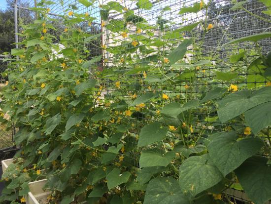 Ruskin, FL: U-Pick Cucmbers growing
