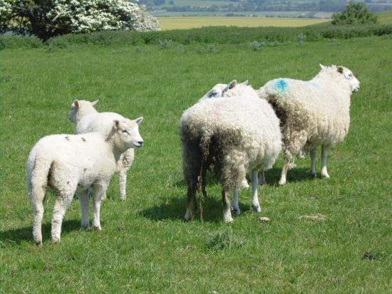 Broad Hinton, UK: there are sheep all over and all colours