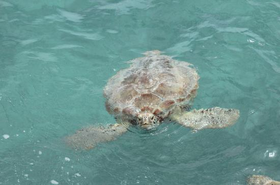 Butterfly Beach Hotel: Sea turtle, pictured from the jetty at Oistins