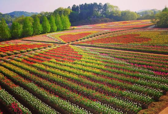 花畑の壁紙世羅高原のチューリップ