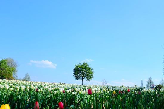 世羅高原農場, 世羅高原は標高が500mと平野部より高く涼しいため、4月下旬からゴールデンウィークにかけてチューリップの見頃が訪れます。