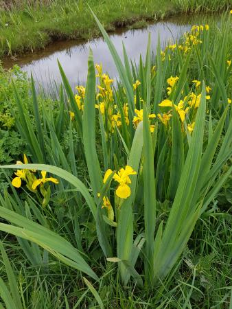 Ceann Sibeal (Dingle) Golf Club: Wild irises taken just before we turned in to the golf club.