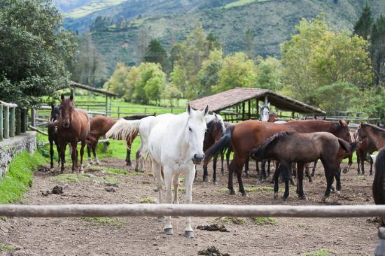 Imbabura Province, Ecuador: Hacienda Zuleta: Paddock