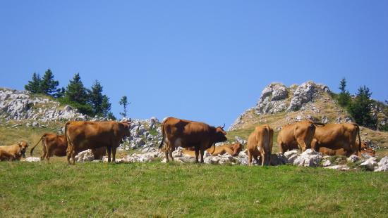 Restaurant Auberge du Charmant Som : les vaches