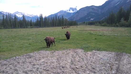 Golden, Canada: stunning sight of the herd