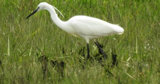 Arne, UK: Watched an egret hunting