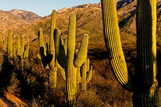 Beautiful cacti at Catalina State Park