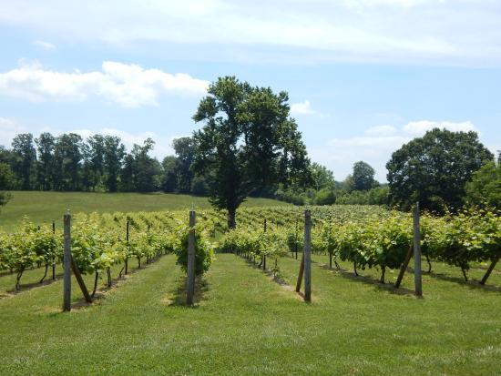 Concord, เวอร์จิเนีย: Vineyard