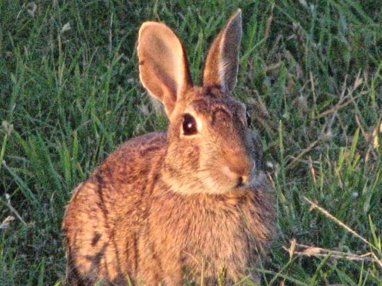 Canute, OK : Many rabbits