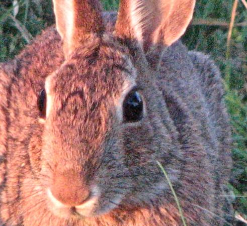 Canute, OK: Rabbit in the rear of park