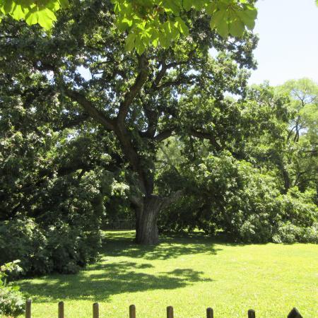 Giant Oak Park: Giant Oak in Peoria, IL, June 2016