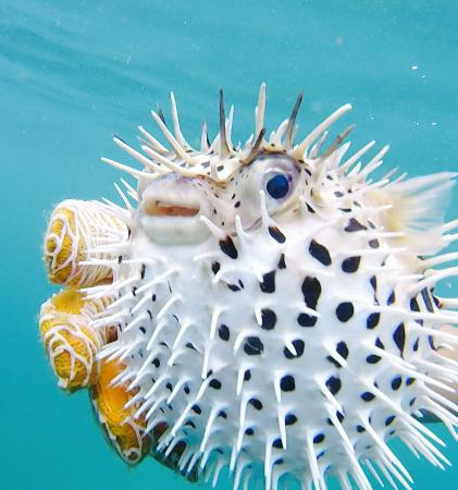 Zuma Tours: The puffer fish Joel found & made sure everyone saw!