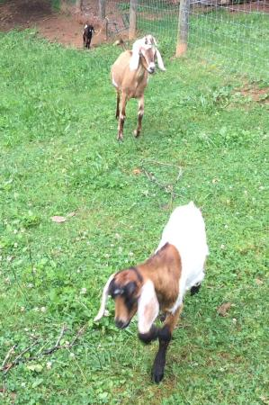 Vanquility Acres Inn: Owners goats