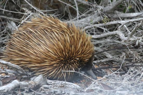 Кингскот, Австралия: One of the egg laying mammals the echidna