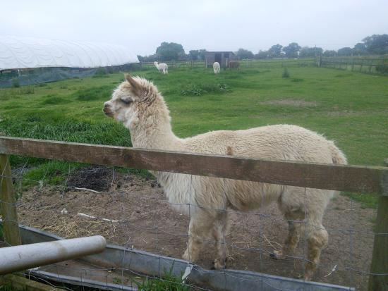 Etwall, UK: Alpacas