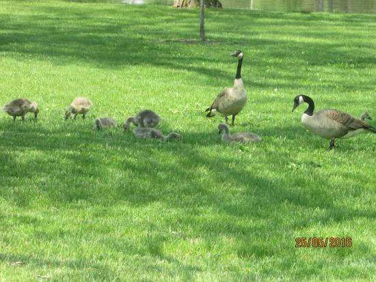 Saginaw, MI: Family of geese
