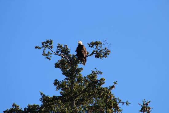 Courtenay, Canadá: Bald eagles nest in nearby trees, visible from the deck.